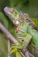 Green Iguana, Sarapiqui, Costa Rica