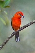 Flame-Colored Tanager, Sarapiqui, Costa Rica