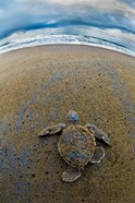 Green Sea Turtle, Tortuguero, Costa Rica