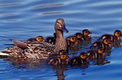 Female Mallard Duck with Chicks, Ohio