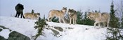 Gray wolves, Massey, Ontario, Canada