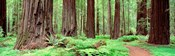 Avenue Of The Giants, Founders Grove, California