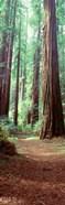 Redwood Trees, St Park Humbolt, CO
