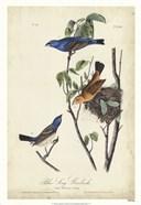 Blue Song Grosbeak