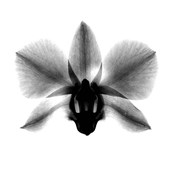 Orchid, Phalenop. X-Ray