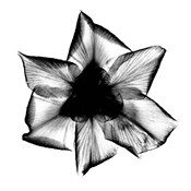Iris, Japanese X-Ray