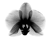 Orchid, Small  X-Ray