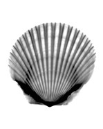 Scallop #3 X-Ray