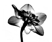 Jonquil X-Ray
