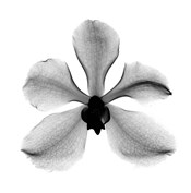 Orchid #3 X-Ray