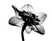 Daffodil #1 X-Ray