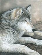 Calm Wolf