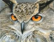 Orange-Eyed Owl