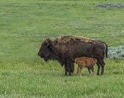 Baby Bison Nursing