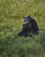 Black Bear Hugging Cub
