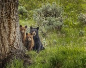 Sow and Cubs Family