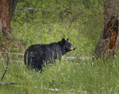 Black Bear Sow Watching Cubs