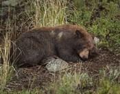 Cinnamon Bear Sleeps