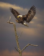 Eagle Landing on Branch