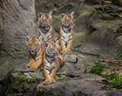 Malayan Tiger Cubs Oil Paint
