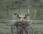 Osprey Lands on Nest With Chick