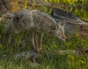 Stalking Coyote