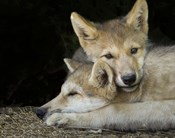 Wolf Pup Brothers