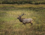 Bull Elk Yellowstone