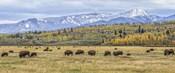 Grand Teton Bison Grazing