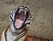 Malayan Tigress Yawn