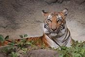 Malayan Tigress