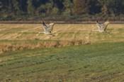 Sandhills Take Flight