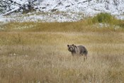 Young Grizzly In Yellowstone