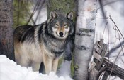 Lone Wolf in the Snow