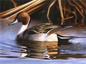 Northern Pintail I