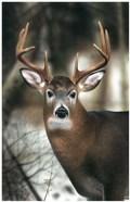 White-tail Buck-close up