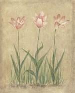 Blooming Tulips II