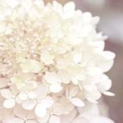 Hydrangea Dream I