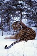 Beautifully Striped Tiger in Snow