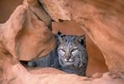 Bobcat in Desert Landscape