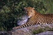 Leopard Stretched out on Rock