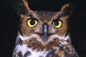 Close Up of Yellow Eyed Owl