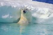 Polar Bear Near Chunk of Ice