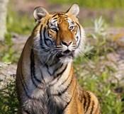 Orange and Black Tiger in Wilderness