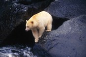 Brown Bear Preparing to Jump into River