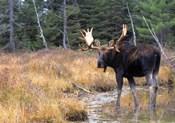 Moose in Swampland