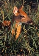 Baby Deer in Grass