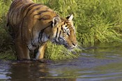 Tiger Stepping into Water