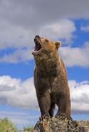 Brown Bear Roaring on Rock