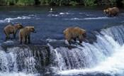 Group of Brown Bears in Lake